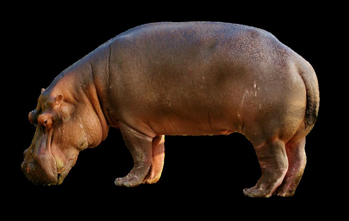 - sans titre (un hippopotame vivant adopté collectivement)