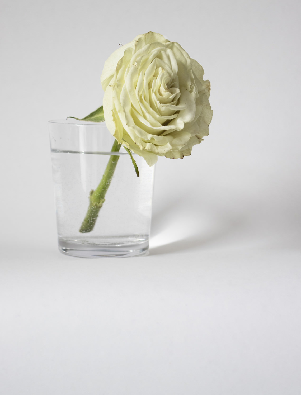 - sans titre (rose blanche)
