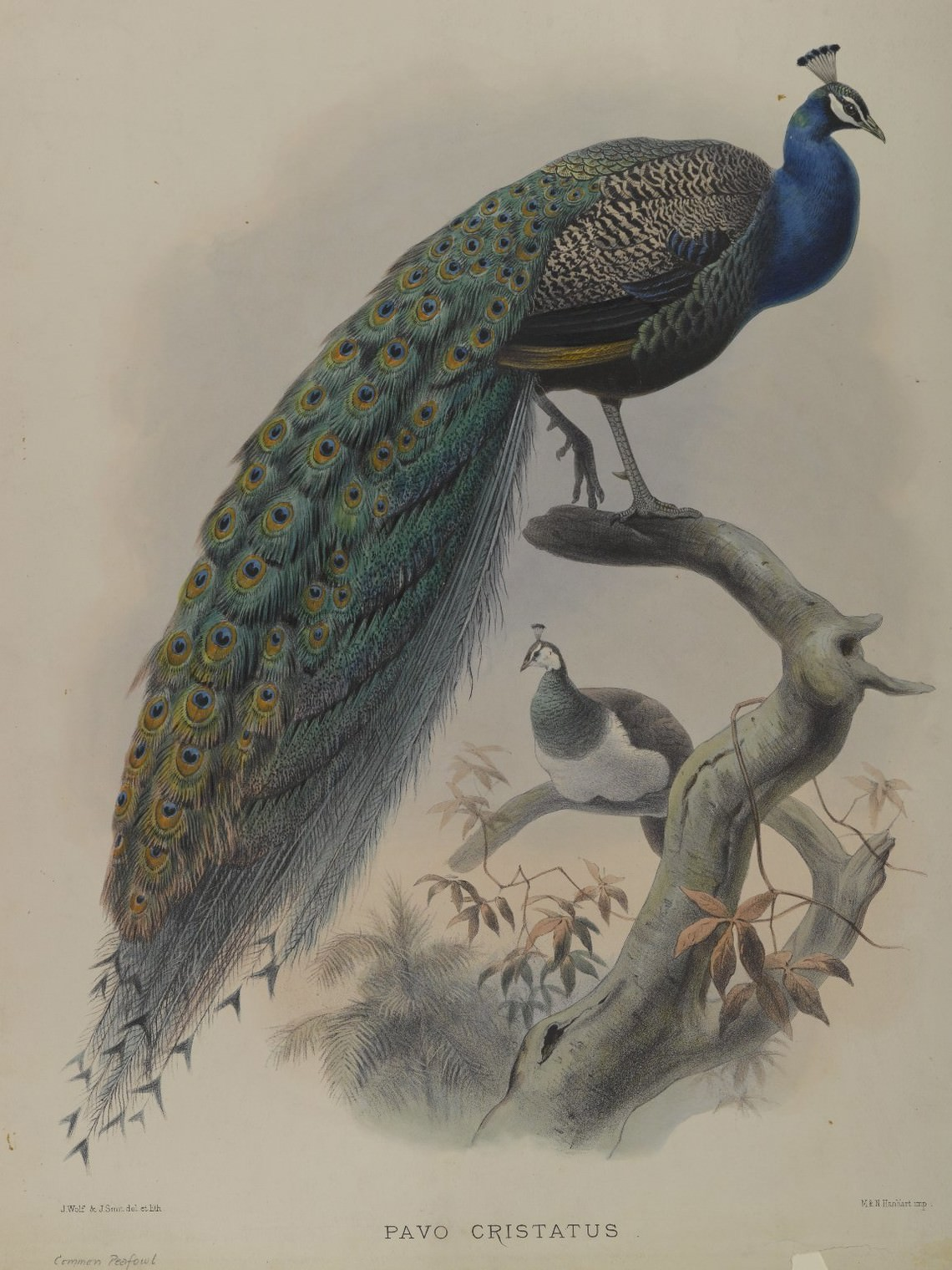 - untitled (the squawking of an Indian peafowl)