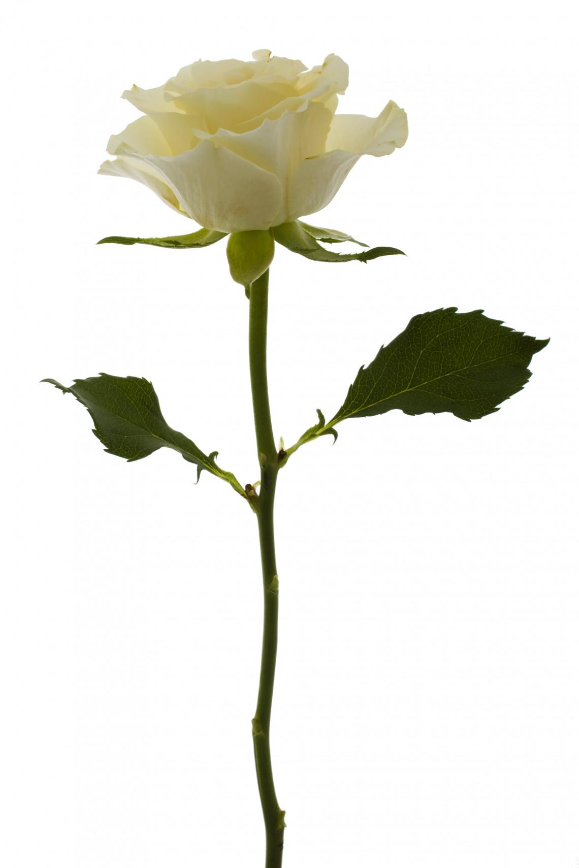 - untitled (white rose)
